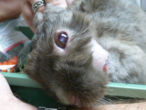 This rabbit has head tilt associated with E. cuniculi. The sutures are from surgery for an unrelated jaw abscess.