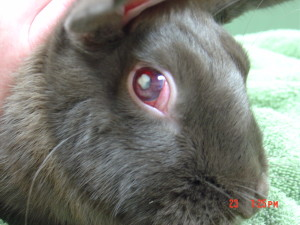 This rabbit has uveitis and pus in the eye due to E. cuniculi.